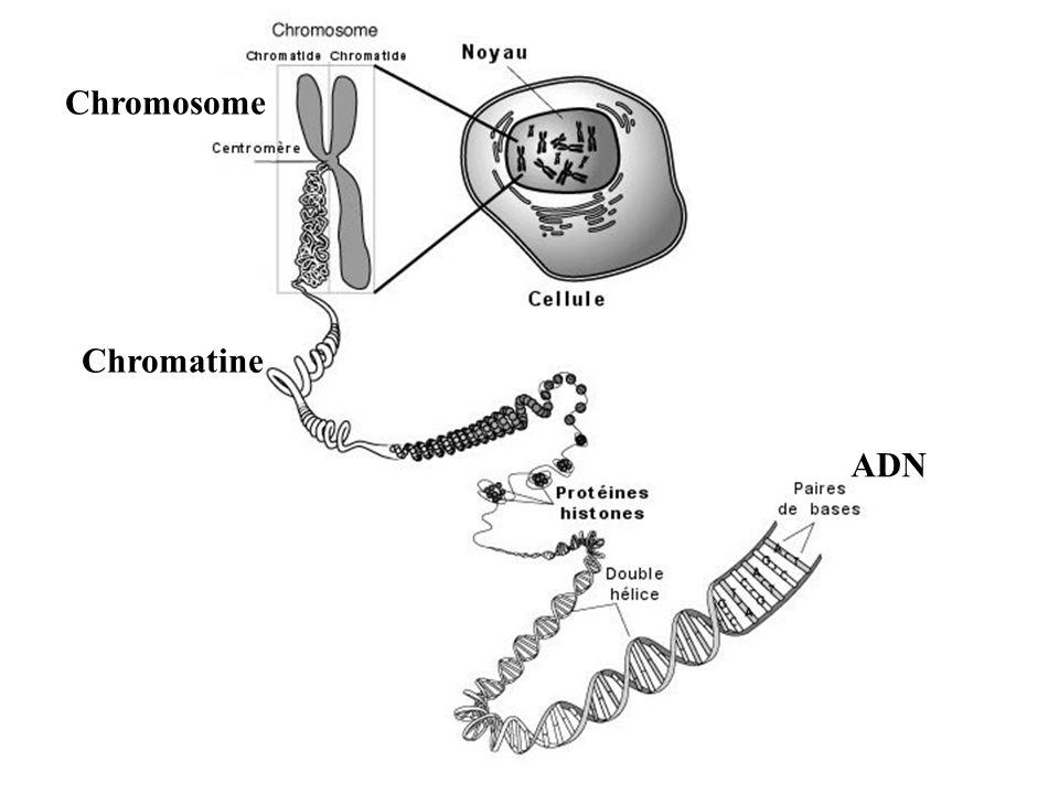 Schéma d'un chromosome à deux chromatides