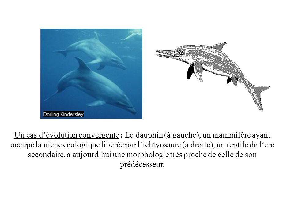 Un cas d'évolution convergente : Le dauphin (à gauche), un mammifère ayant occupé la niche écologique libérée par l'ichtyosaure (à droite), un reptile de l'ère secondaire, a aujourd'hui une morphologie très proche de celle de son prédécesseur.