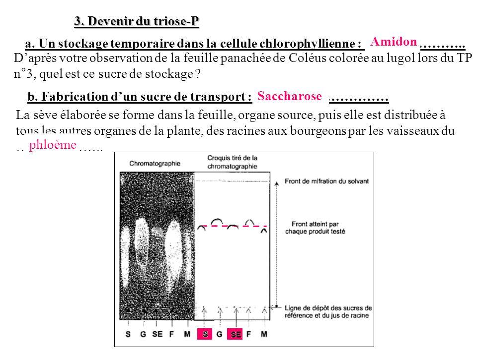 3. Devenir du triose-P a. Un stockage temporaire dans la cellule chlorophyllienne : ………………….. Amidon.