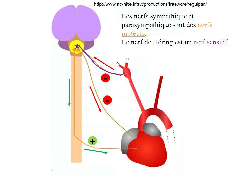 - - + Les nerfs sympathique et parasympathique sont des nerfs moteurs.