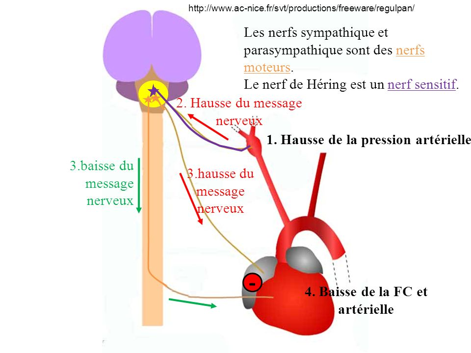 4. Baisse de la FC et artérielle