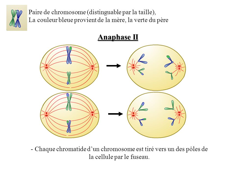 Anaphase II Paire de chromosome (distinguable par la taille),