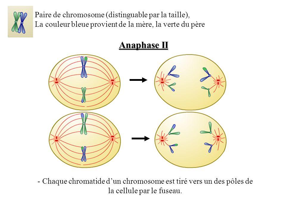 Anaphase II Paire de chromosome (distinguable par la taille),