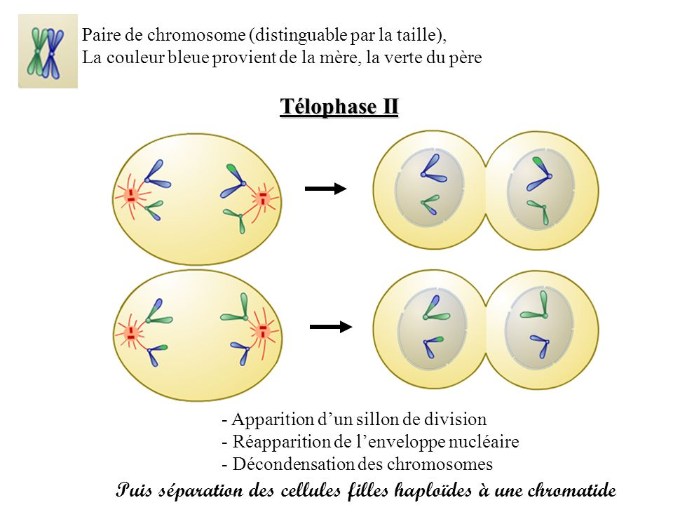 Paire de chromosome (distinguable par la taille),