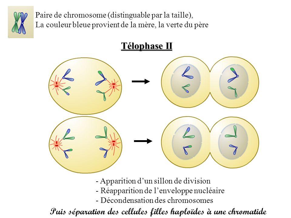 Paire de chromosome (distinguable par la taille),