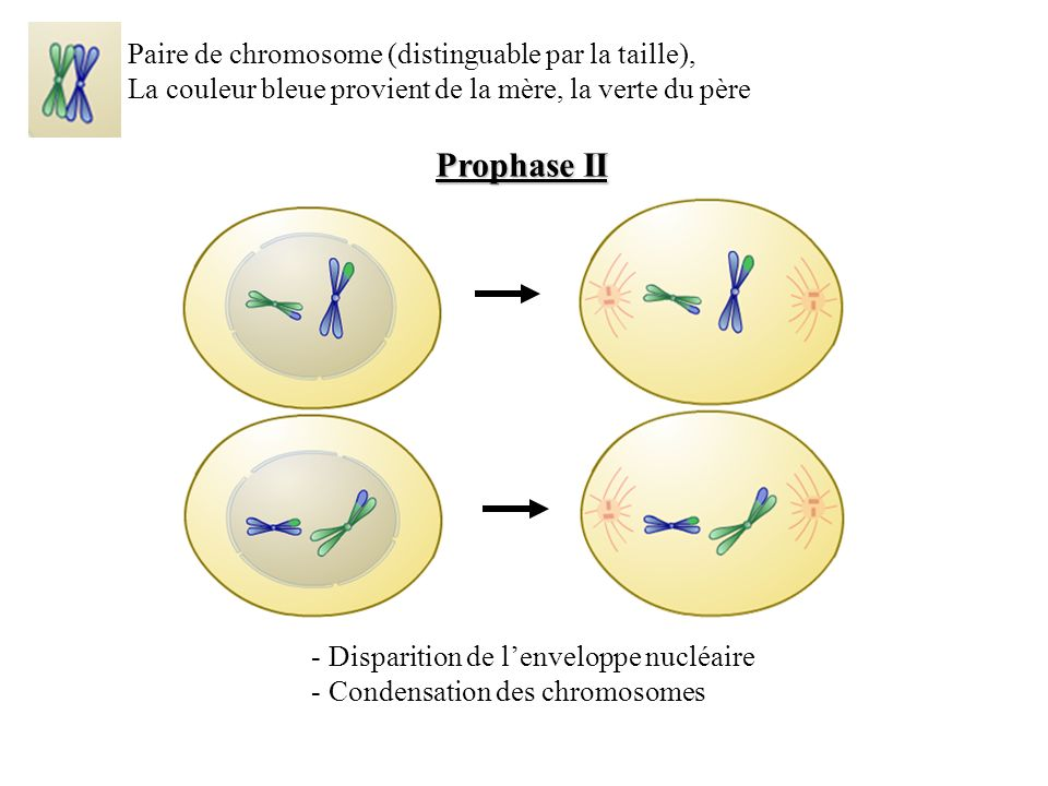 Prophase II Paire de chromosome (distinguable par la taille),