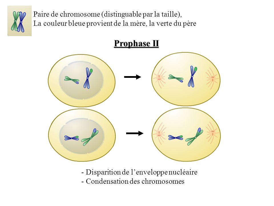 Prophase II Paire de chromosome (distinguable par la taille),