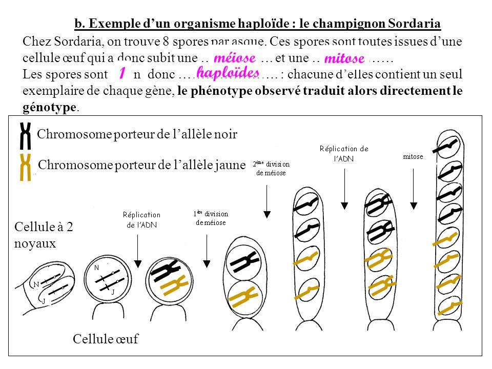 méiose mitose 1 haploïdes