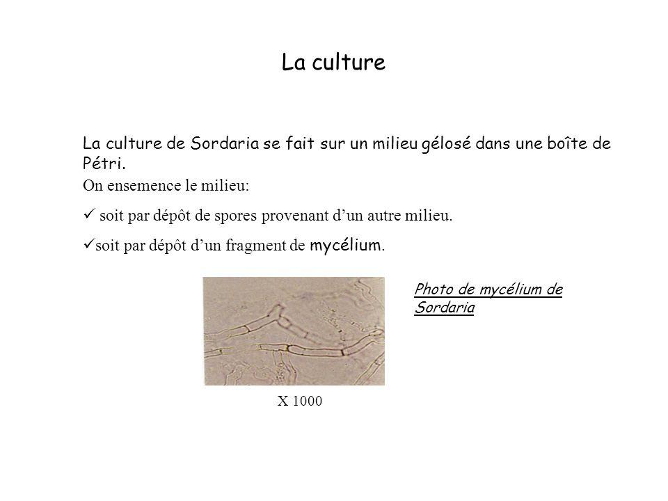 La culture La culture de Sordaria se fait sur un milieu gélosé dans une boîte de Pétri. On ensemence le milieu: