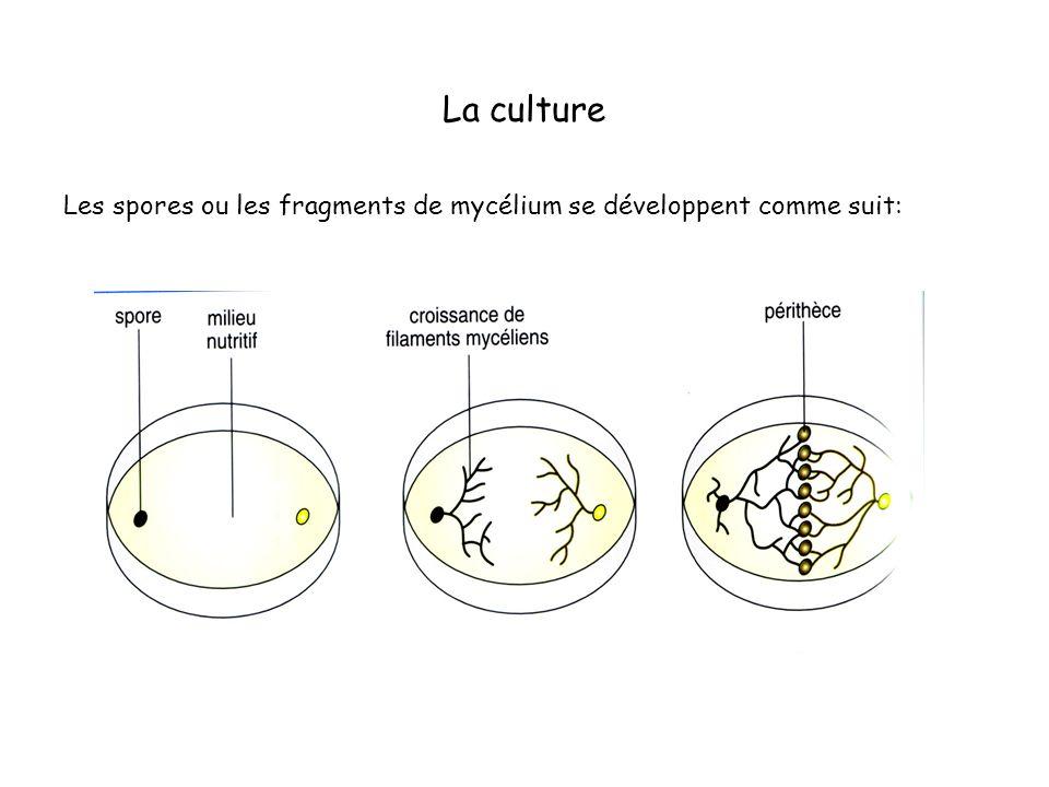 La culture Les spores ou les fragments de mycélium se développent comme suit: