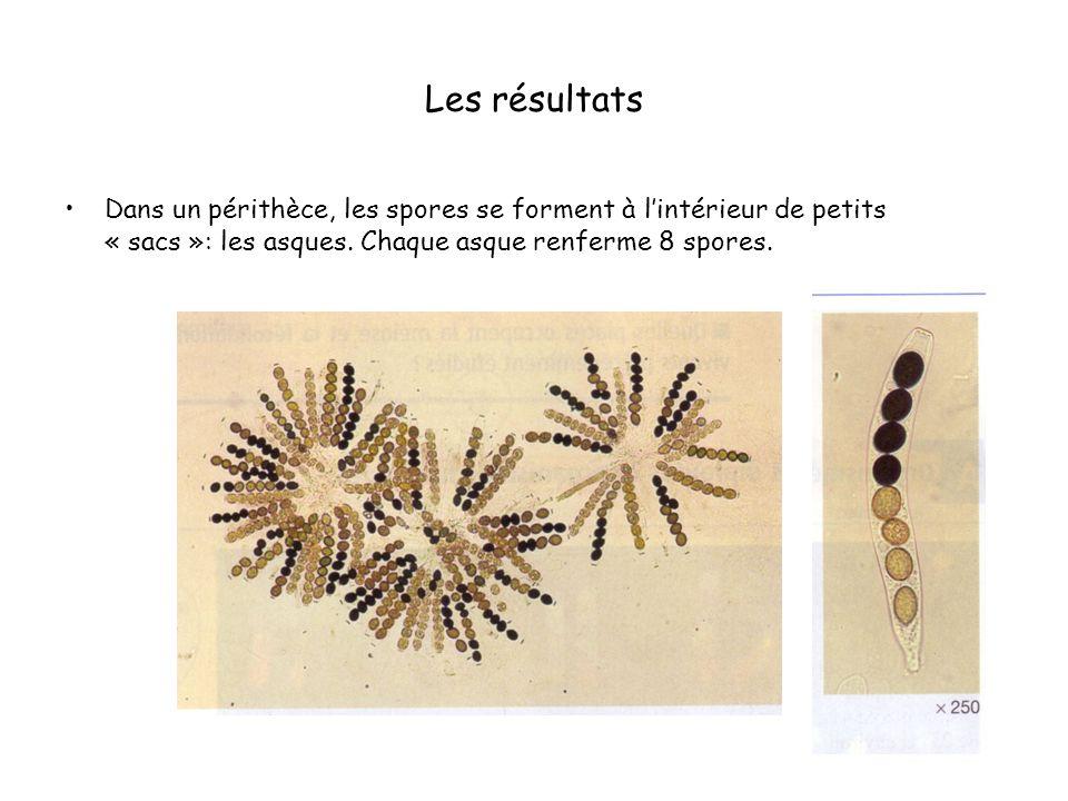 Les résultats Dans un périthèce, les spores se forment à l'intérieur de petits « sacs »: les asques.