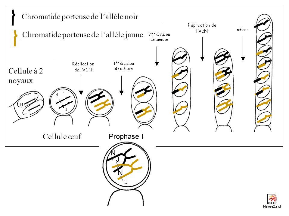 Chromatide porteuse de l'allèle noir