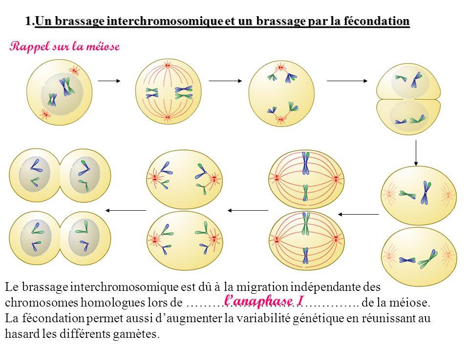 Un brassage interchromosomique et un brassage par la fécondation