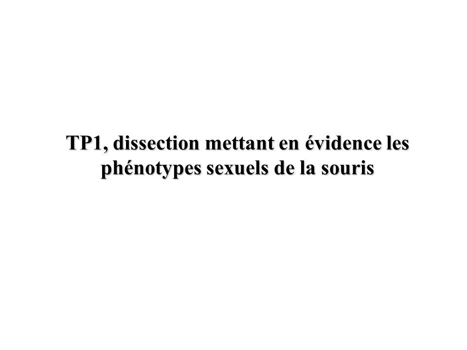 TP1, dissection mettant en évidence les phénotypes sexuels de la souris