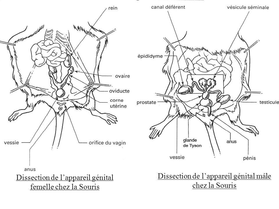 Dissection de l'appareil génital femelle chez la Souris