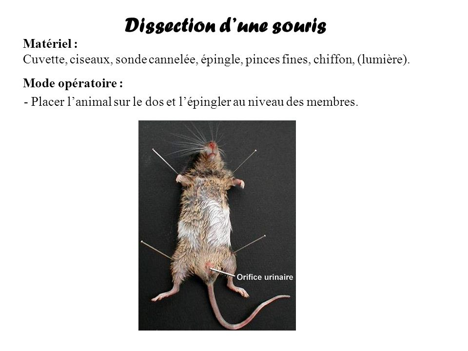 Dissection d'une souris