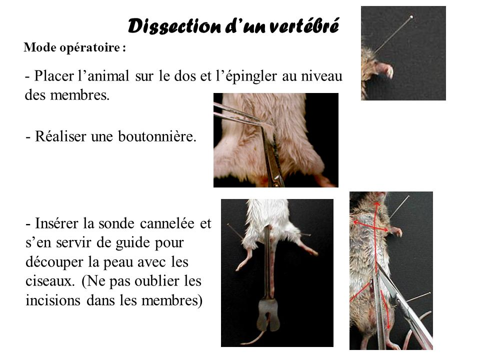 Dissection d'un vertébré