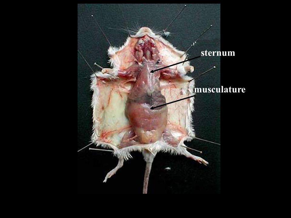 sternum musculature