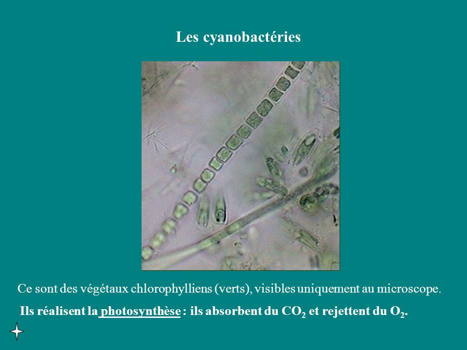 Les cyanobactéries Ce sont des végétaux chlorophylliens (verts), visibles uniquement au microscope.
