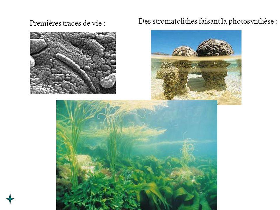 Des stromatolithes faisant la photosynthèse :
