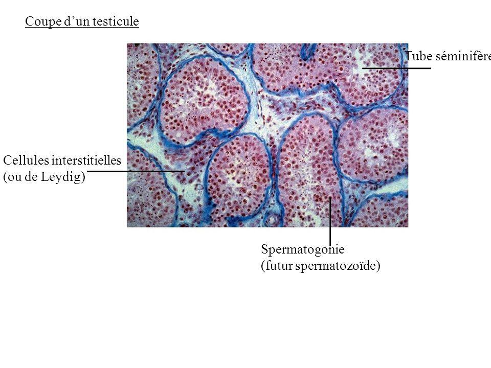 Coupe d'un testicule Tube séminifère. Cellules interstitielles (ou de Leydig) Spermatogonie.