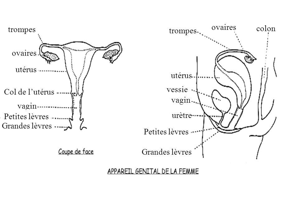 ovairestrompes. colon. trompes. ovaires. utérus. utérus. vessie. Col de l'utérus. vagin. vagin. Petites lèvres.