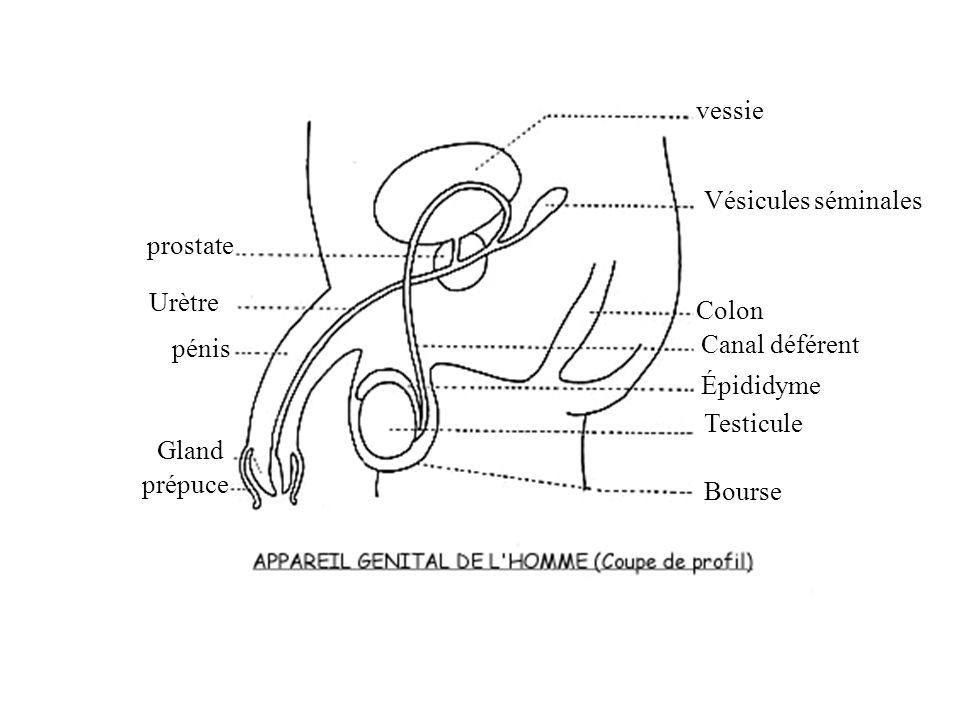 vessie Vésicules séminales. prostate. Urètre. Colon. pénis. Canal déférent. Épididyme. Testicule.