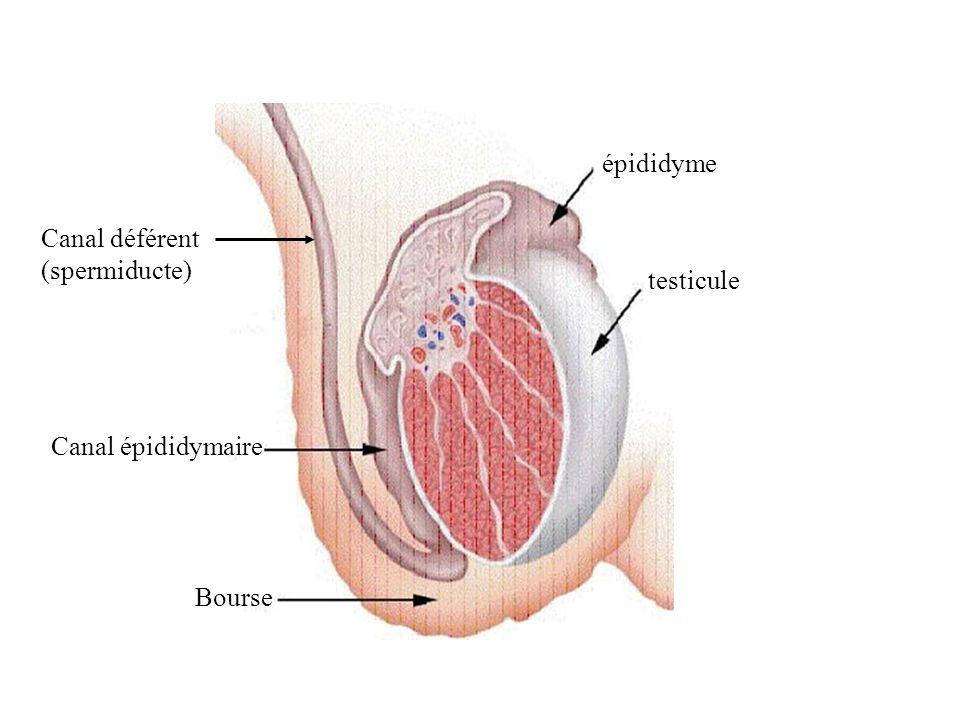 épididyme Canal déférent (spermiducte) testicule Canal épididymaire Bourse