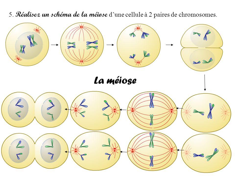 5. Réalisez un schéma de la méiose d'une cellule à 2 paires de chromosomes.