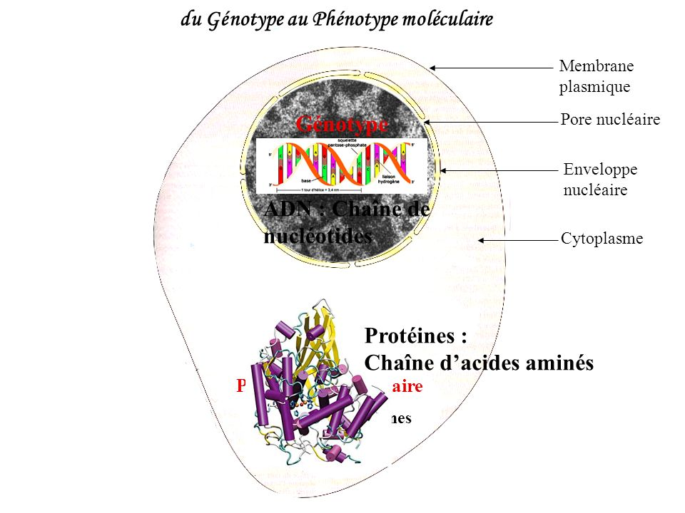 du Génotype au Phénotype moléculaire