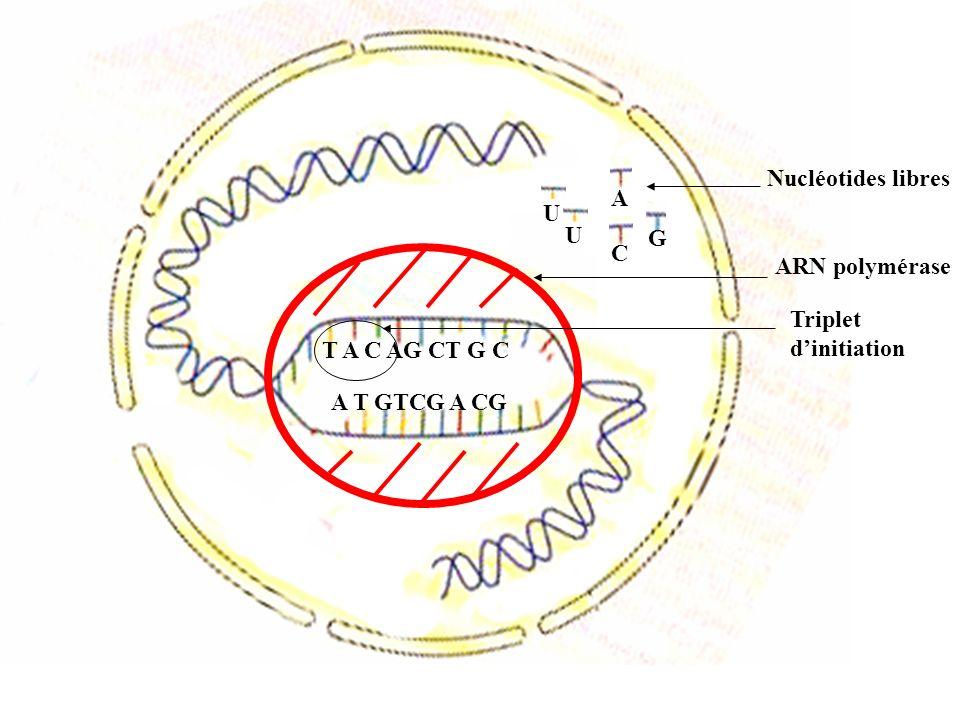A Nucléotides libres U U G C ARN polymérase Triplet d'initiation T A C AG CT G C A T GTCG A CG