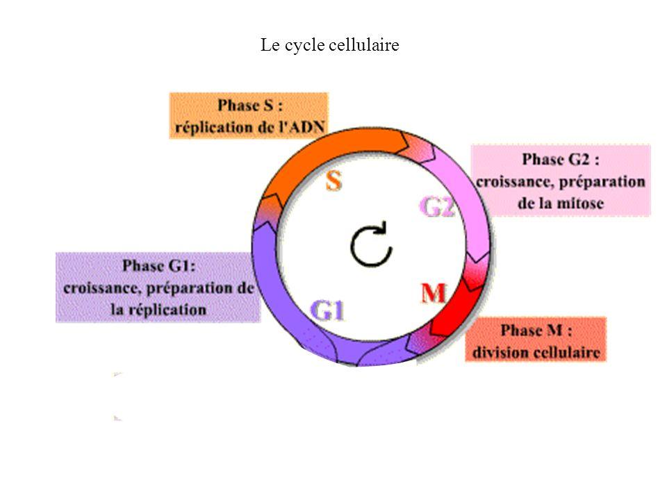 Le cycle cellulaire
