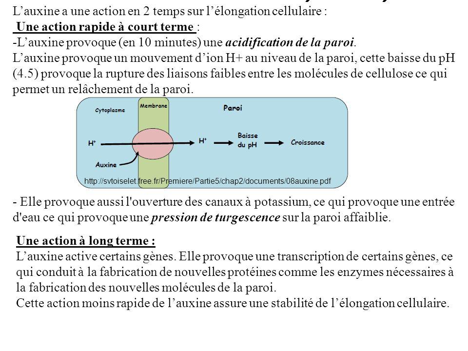 L'auxine a une action en 2 temps sur l'élongation cellulaire :