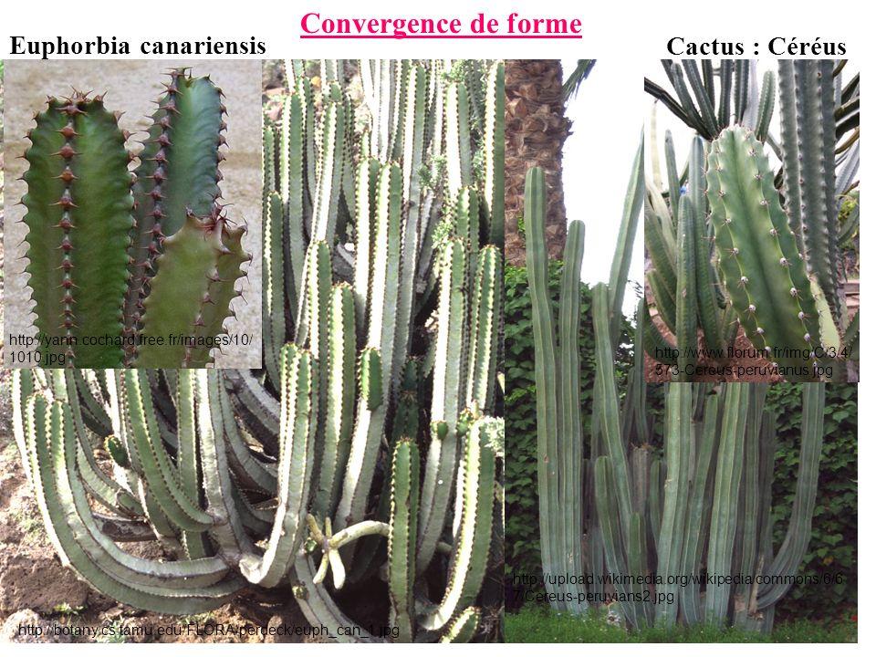 Convergence de forme Euphorbia canariensis Cactus : Céréus