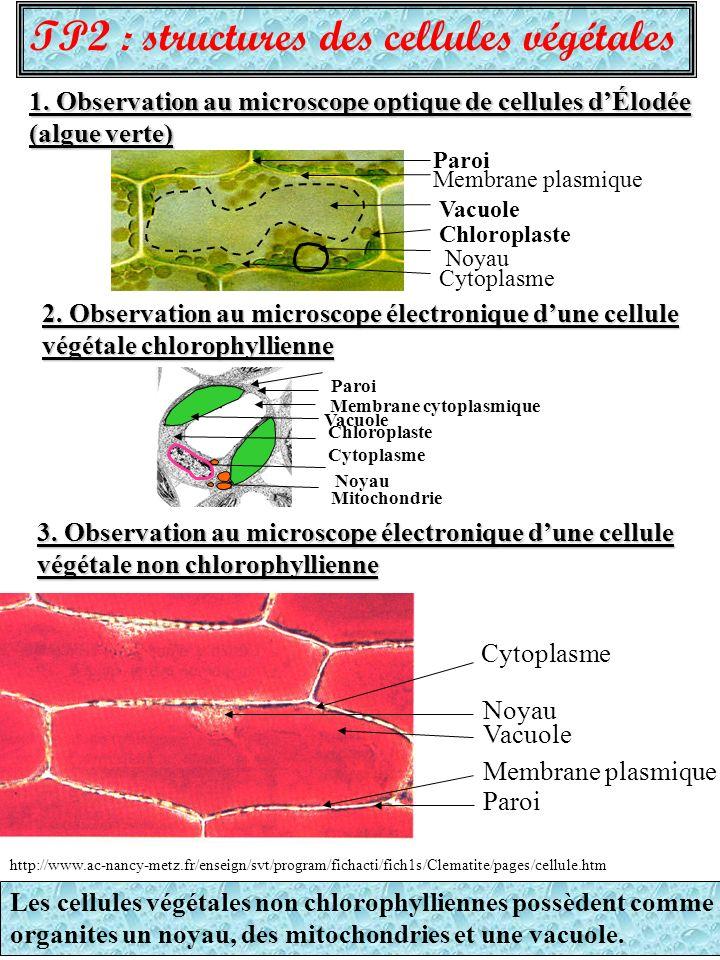 TP2 : structures des cellules végétales