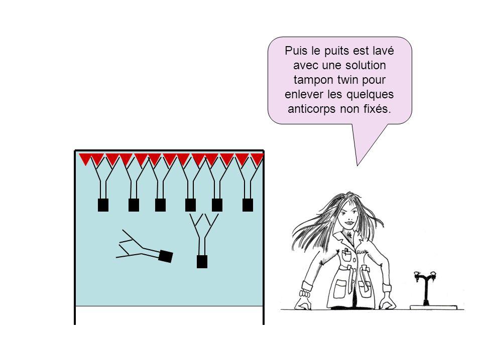 Puis le puits est lavé avec une solution tampon twin pour enlever les quelques anticorps non fixés.