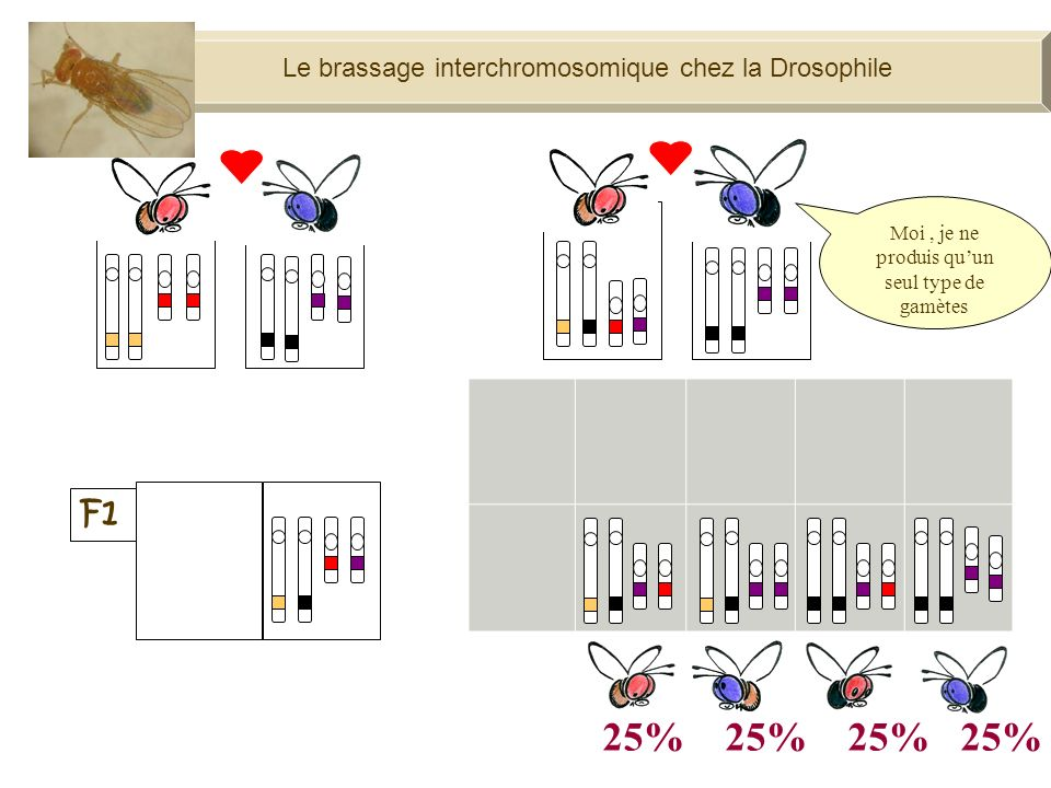 25% 25% 25% 25% F1 Le brassage interchromosomique chez la Drosophile
