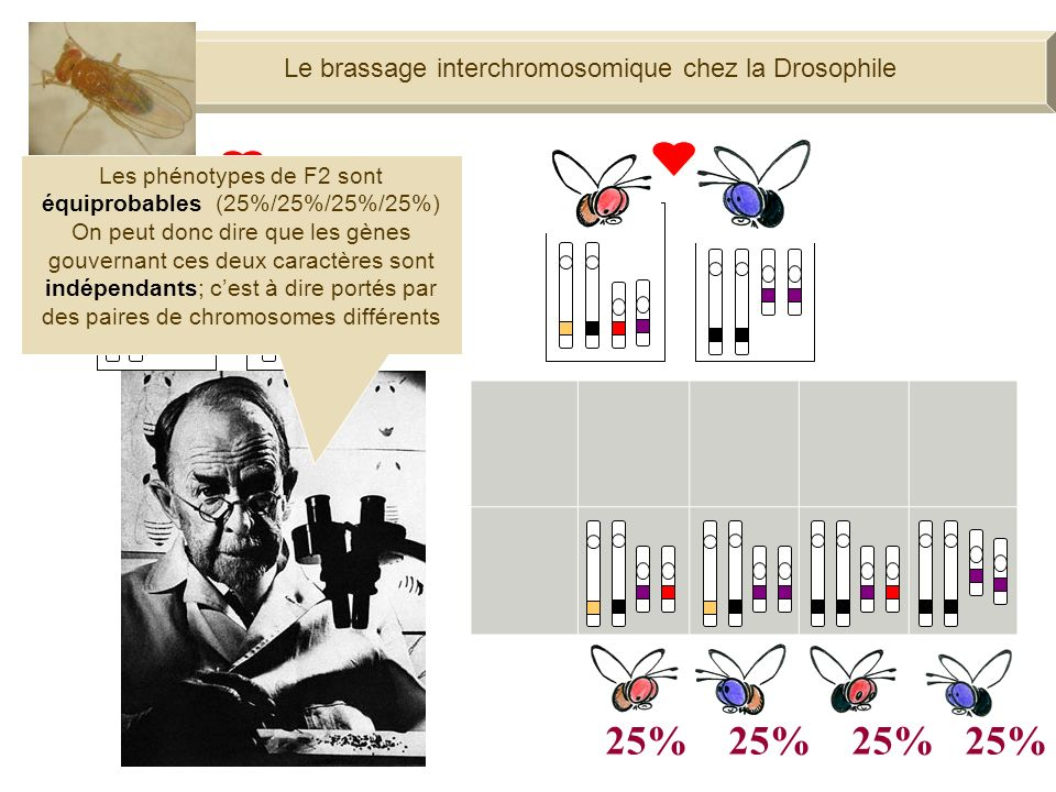 25% 25% 25% 25% Le brassage interchromosomique chez la Drosophile