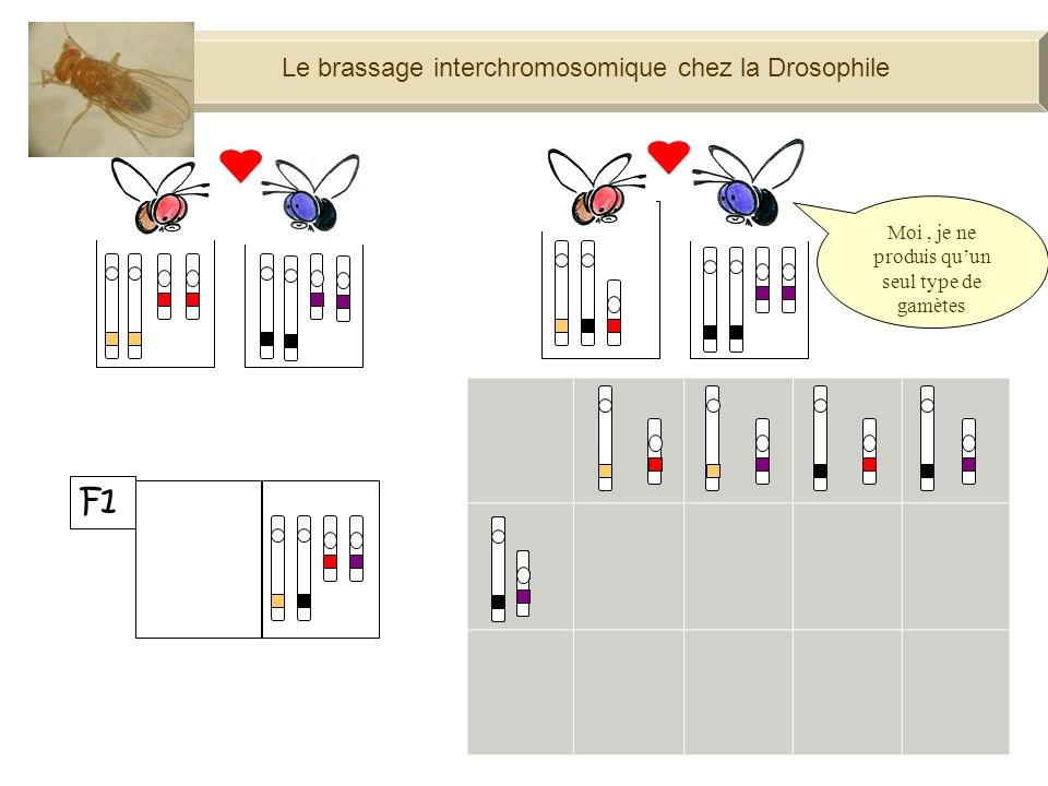 F1 Le brassage interchromosomique chez la Drosophile 100%