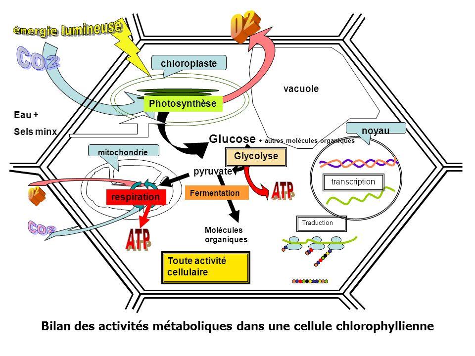 Bilan des activités métaboliques dans une cellule chlorophyllienne