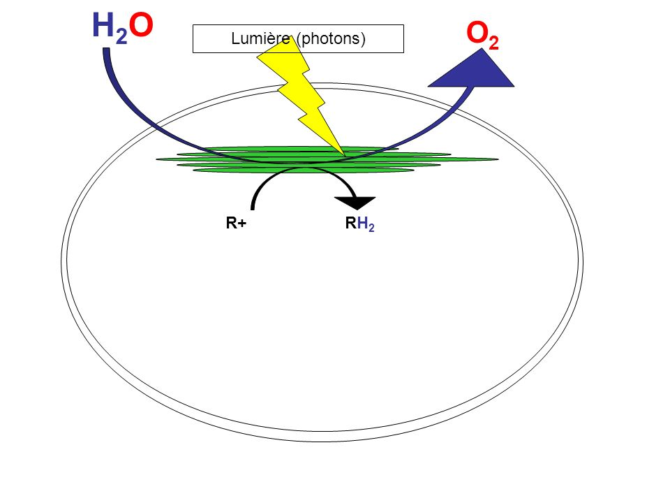 H2O O2 Lumière (photons) R+ RH2