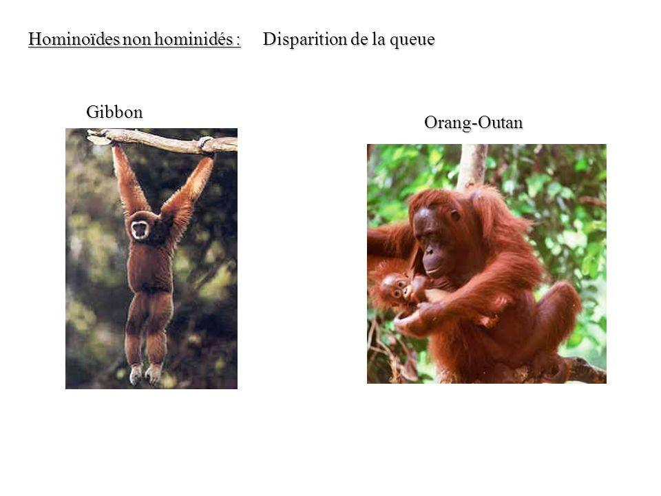 Hominoïdes non hominidés :
