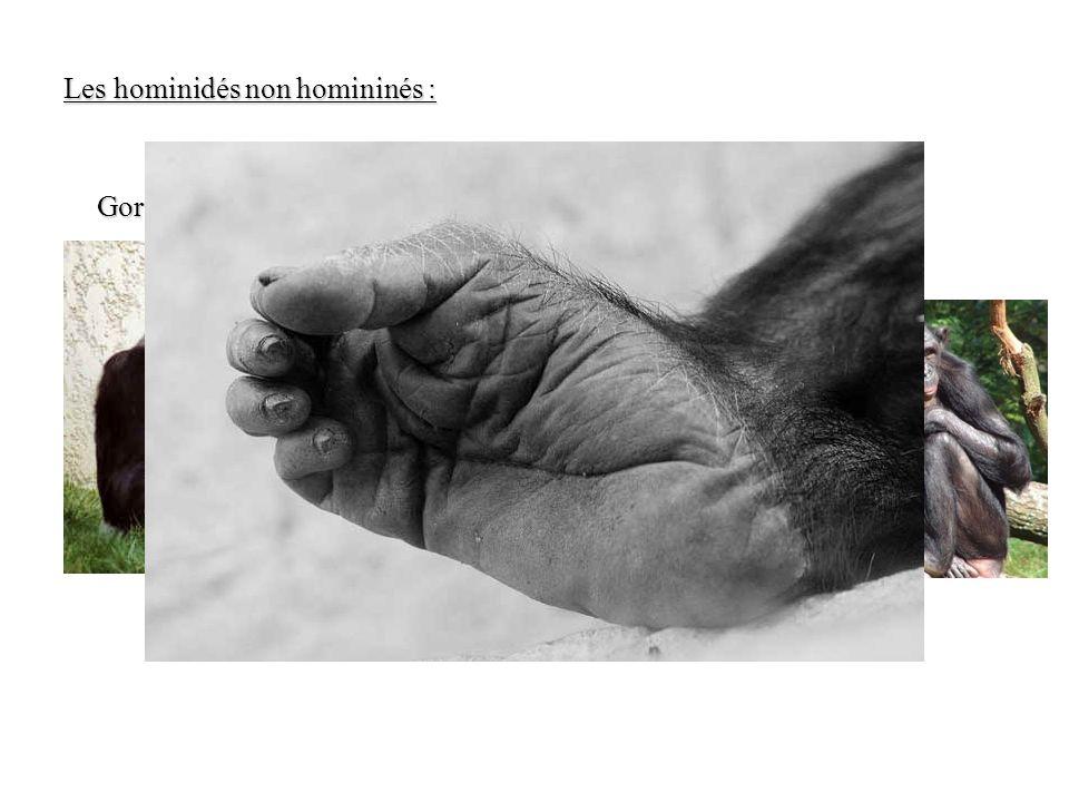 Les hominidés non homininés :