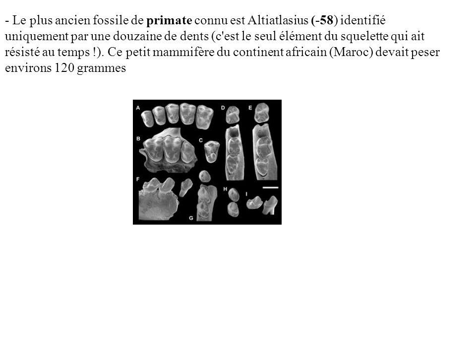 - Le plus ancien fossile de primate connu est Altiatlasius (-58) identifié uniquement par une douzaine de dents (c est le seul élément du squelette qui ait résisté au temps !).