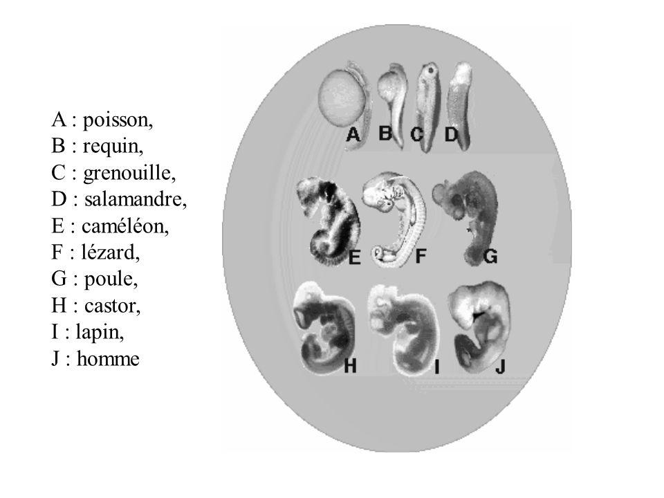 A : poisson, B : requin, C : grenouille, D : salamandre, E : caméléon, F : lézard, G : poule, H : castor,