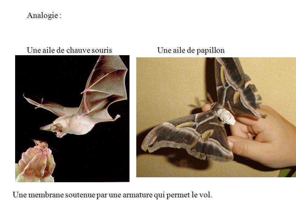 Analogie : Une aile de chauve souris. Une aile de papillon.
