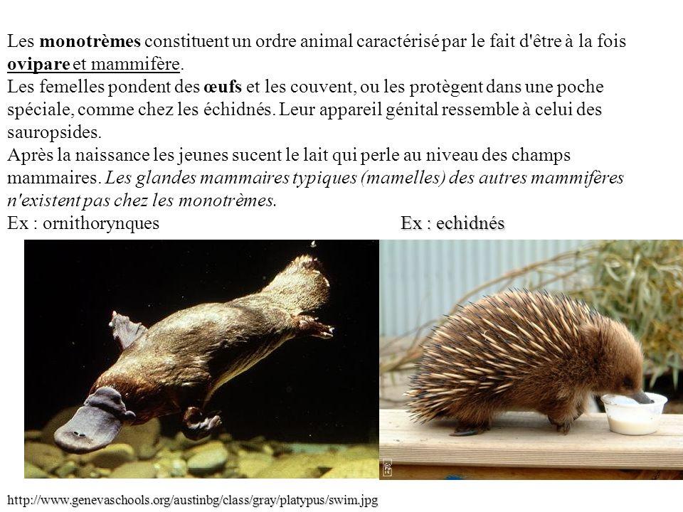 Les monotrèmes constituent un ordre animal caractérisé par le fait d être à la fois ovipare et mammifère.