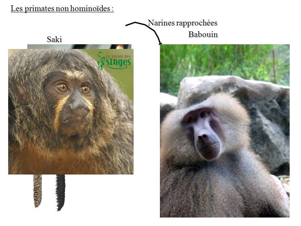 Les primates non hominoïdes :