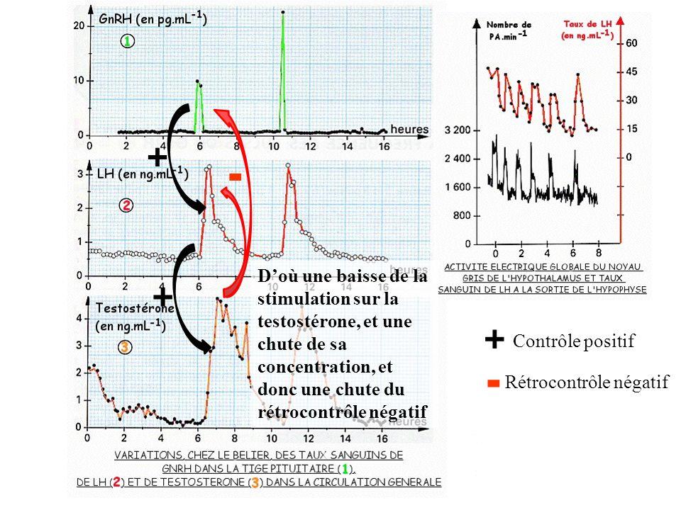 + - D'où une baisse de la stimulation sur la testostérone, et une chute de sa concentration, et donc une chute du rétrocontrôle négatif.