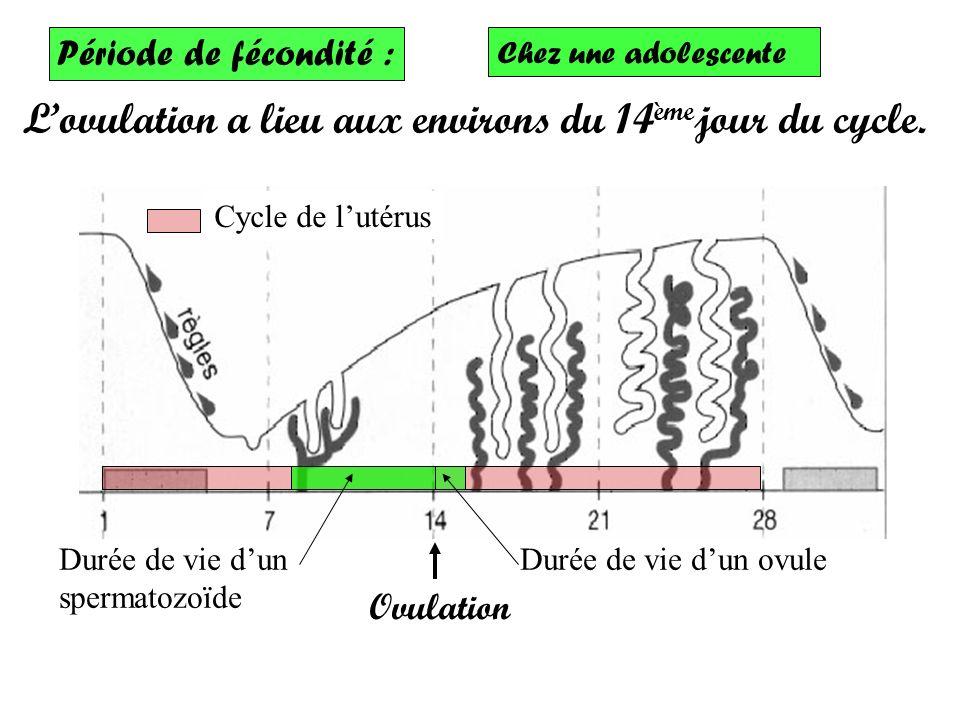 L'ovulation a lieu aux environs du 14èmejour du cycle.